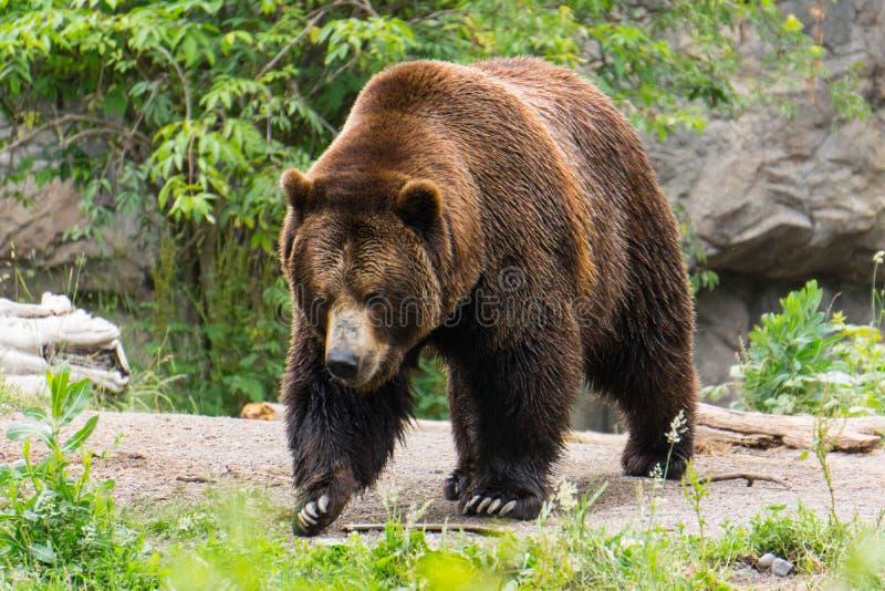 Bruin draag op Forest Path royalty-vrije stock fotografie