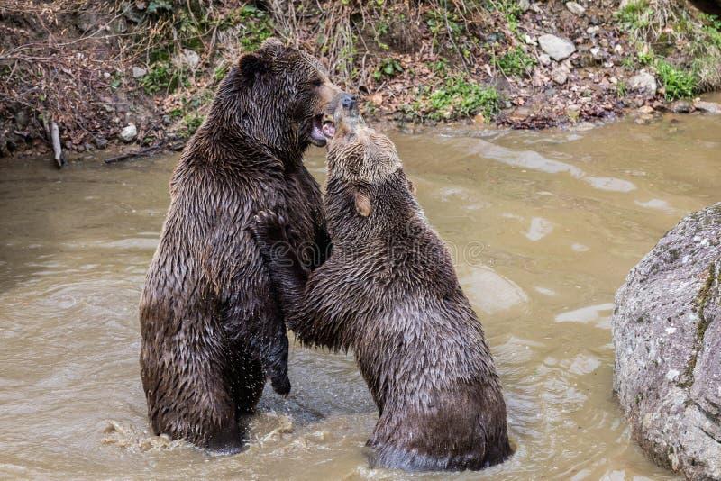 Bruin draag paar geknuffel in water Twee bruin berenspel in het water stock fotografie