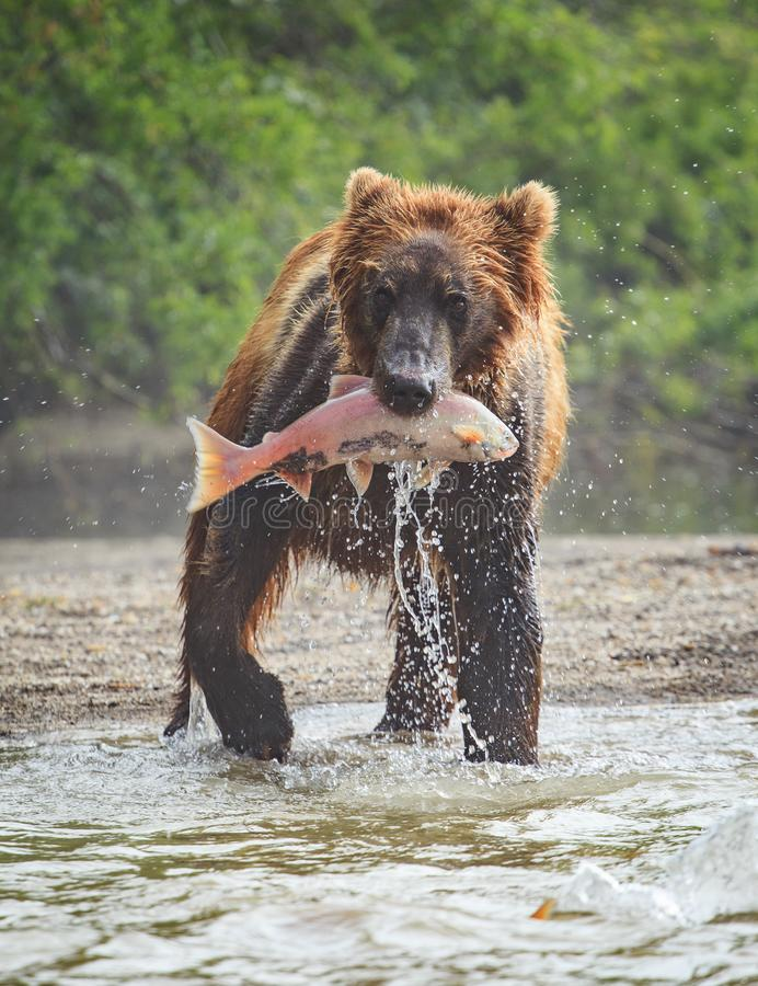 Bruin draag toont een aardige vangst met zalmlunch in zijn mond bij Meer Kuril stock foto's