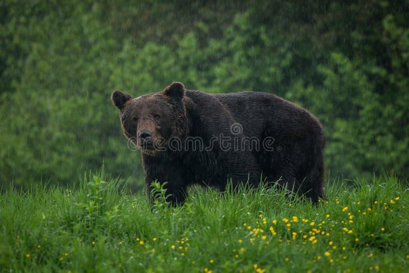 Bruin draag Ursus-arctos in de regen stock fotografie
