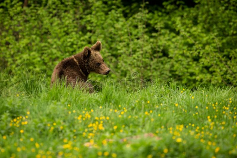 Bruin draag Ursus-arctos in de weide stock foto
