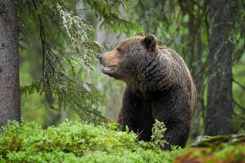 Bruin draag, Ursus-arctos, in donkergroen Europees bos stock foto's