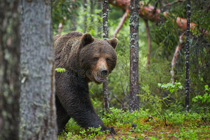 Bruin draag, Ursus-arctos, in donkergroen Europees bos stock afbeeldingen