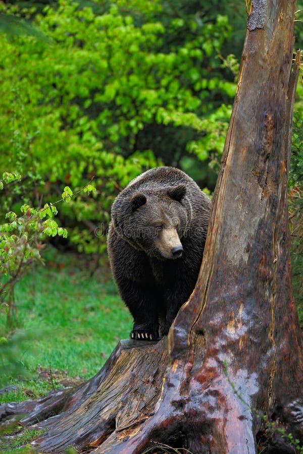Bruin draag, Ursus-arctos, hideen achter de boomboomstam in het bos royalty-vrije stock afbeelding