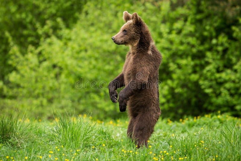 Bruin draag Ursus-arctos status royalty-vrije stock foto's