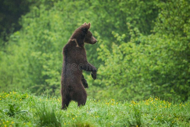 Bruin draag Ursus-arctos zich bevindt in de regen stock fotografie