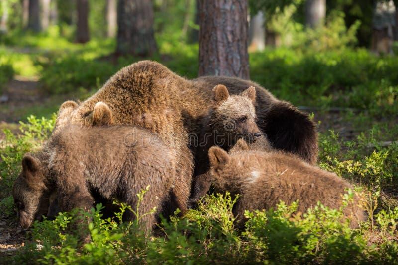 Bruin draag welpen samenkomend in Fins bos stock fotografie