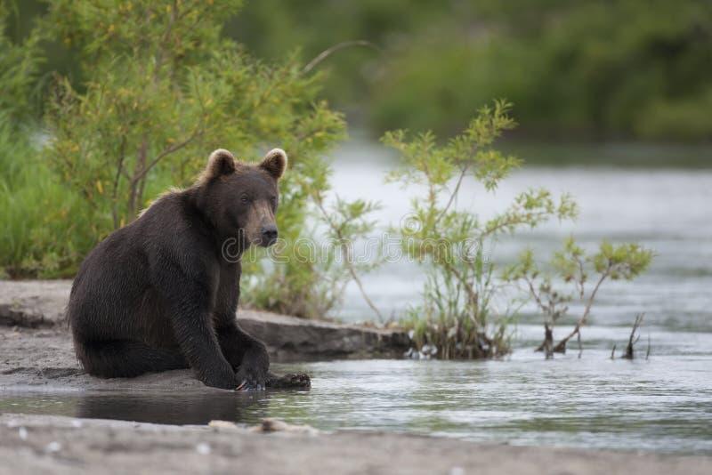 Bruin draag zit op de rivierbank stock foto