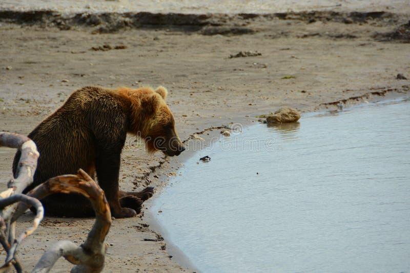 Bruin draag zittend op de kust stock fotografie