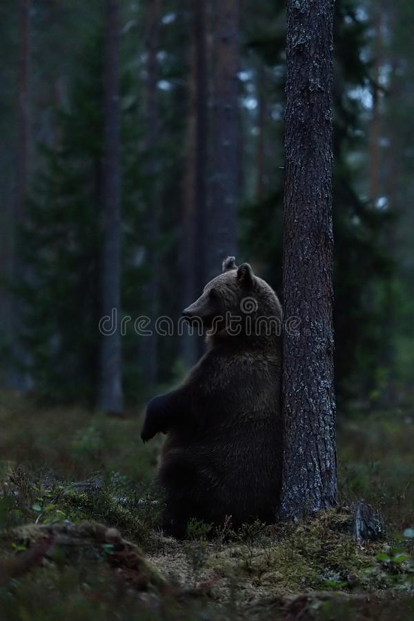 Bruin draag zittend tegen een boom in het bos laat in de avond Draag zittend in het bos royalty-vrije stock foto