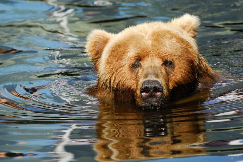 Bruin draag zwemmend royalty-vrije stock afbeelding
