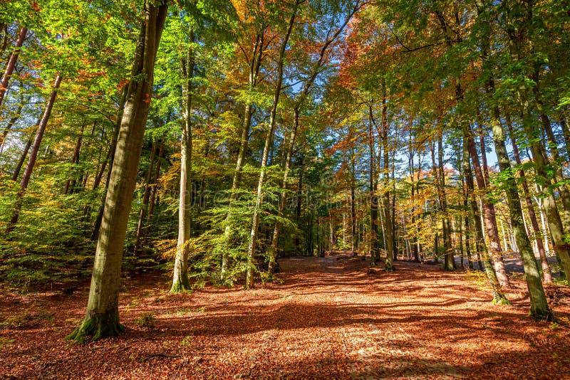 Bruin en prachtig bos in de herfst in Europa stock fotografie
