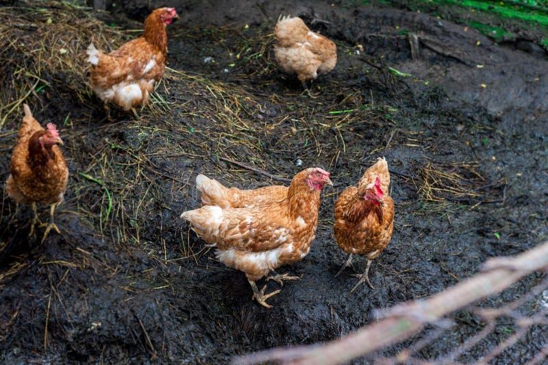 Bruin en rood chiken in de tuin royalty-vrije stock fotografie