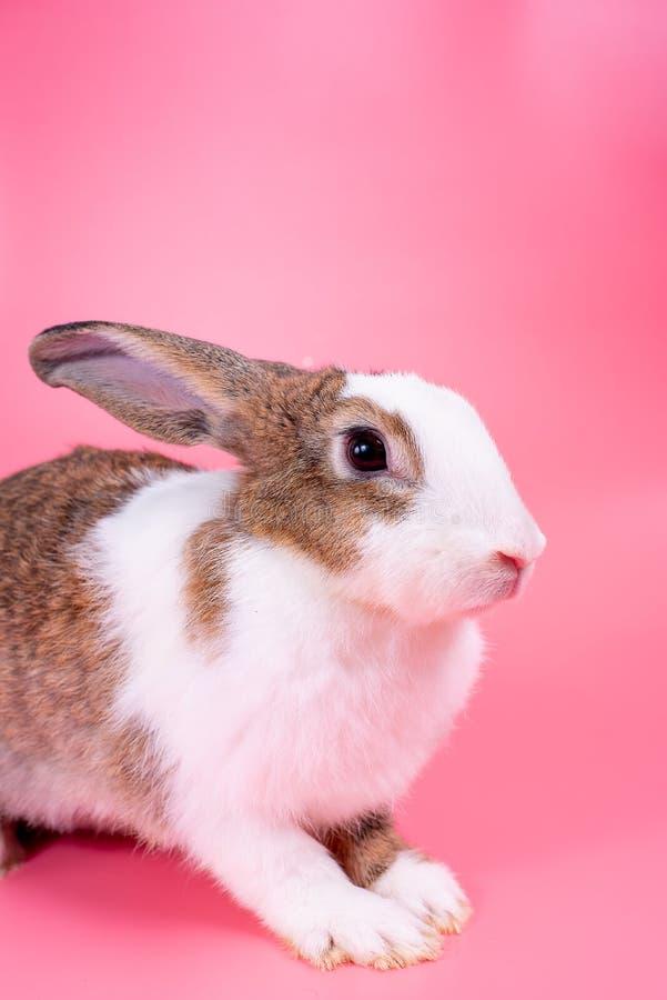 Bruin en wit konijntjeskonijn met lange orentribunes voor roze achtergrond royalty-vrije stock foto's