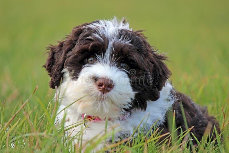 Bruin en wit puppy royalty-vrije stock foto's