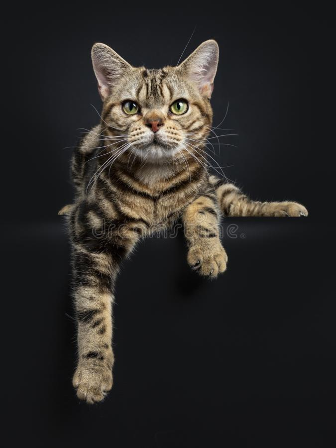 Bruin en zwart de kattenkatje die van gestreepte kat Amerikaans Shorthair met poten bepalen die die over rand hangen op zwarte ac stock foto