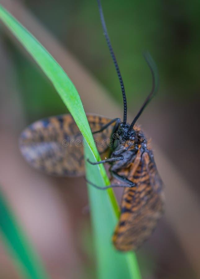 Bruin en zwart scharnieren Insect op Groene bladfabriek stock fotografie