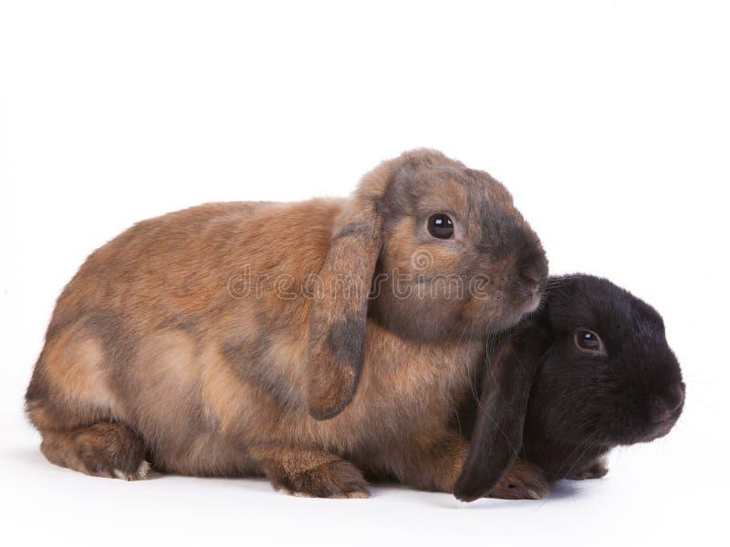 Bruin en zwarte snoei eared konijnen royalty-vrije stock foto