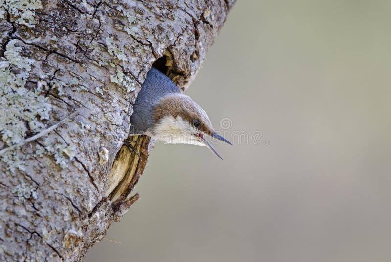 Bruin-geleide Nuthatch vogel, Monroe, Georgië, de V.S. stock fotografie
