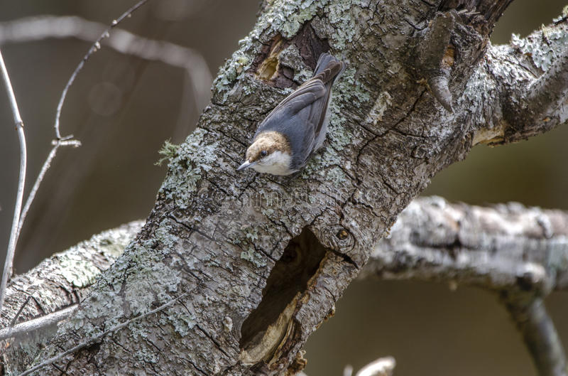 Bruin-geleide Nuthatch vogel, Walton County Monroe Georgia royalty-vrije stock foto's
