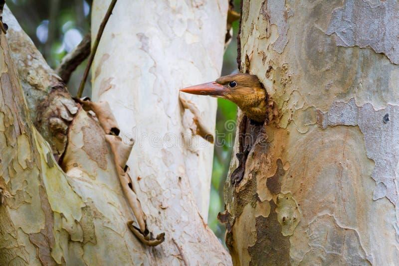 Bruin-gevleugelde Ijsvogeljongere royalty-vrije stock fotografie