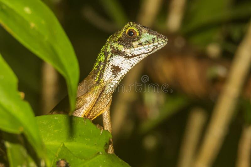 Bruin-herstelde Kangoeroehagedis, de Kangoeroehagedis van Sri Lankan, het Nationale Park van Sinharaja, Sri Lanka stock afbeelding