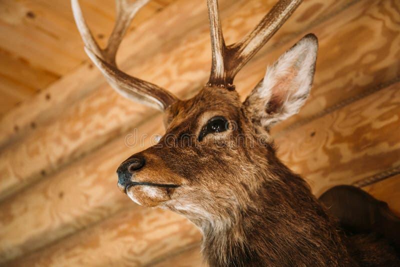 Bruin hertenhoofd op houten muurachtergrond Dierenontwerp of trofee decoratief voorwerp taxidermy stock foto