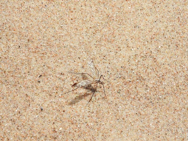 Bruin het glanzen insect op zand, Litouwen stock fotografie