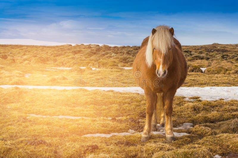Bruin Ijslands paard over droog glas stock foto's