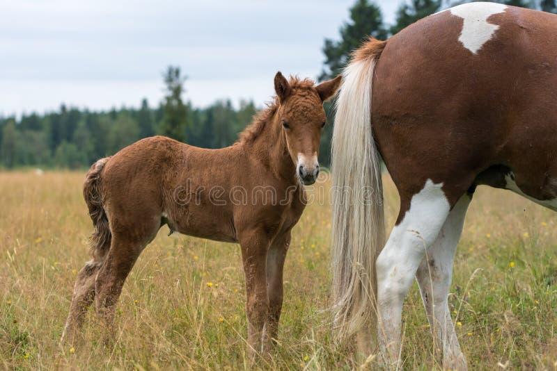 Bruin Ijslands paardveulen die zich dicht bij zijn moeders achtere bevinden royalty-vrije stock foto