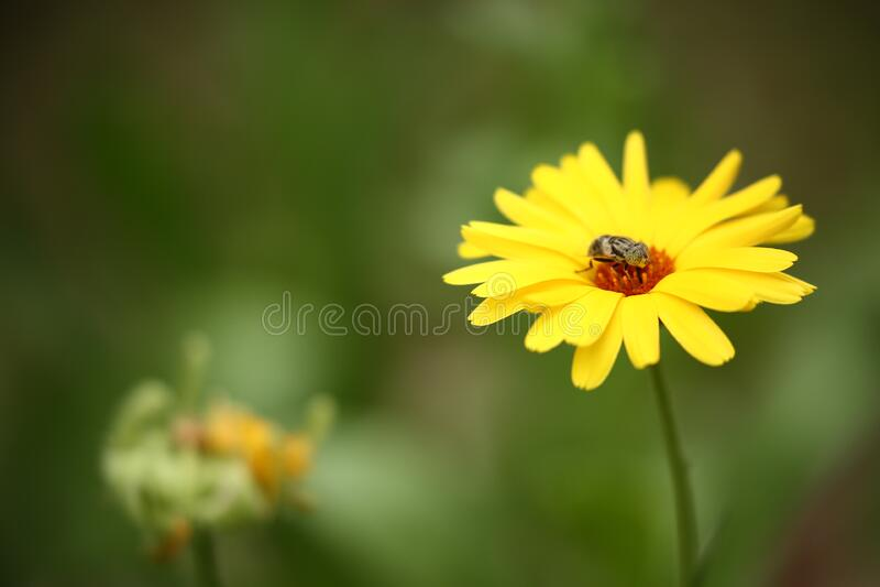 Bruin Insect op Gele Multipetaled-Bloem in Macro Geschotene Fotografie royalty-vrije stock foto's