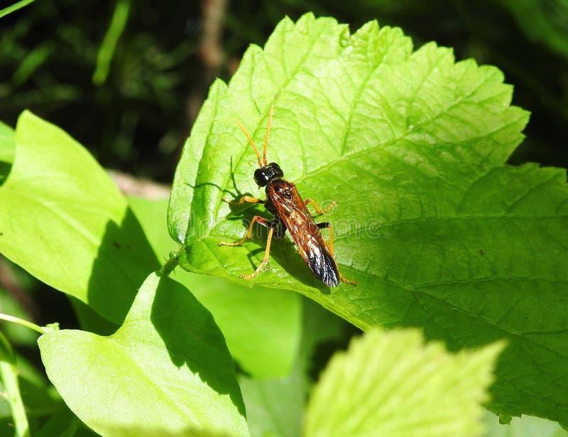 Bruin insect op groen blad, Litouwen royalty-vrije stock foto's