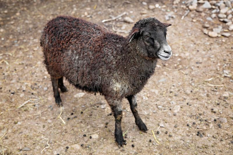 Bruin jong schapenlam op de rotsen royalty-vrije stock foto