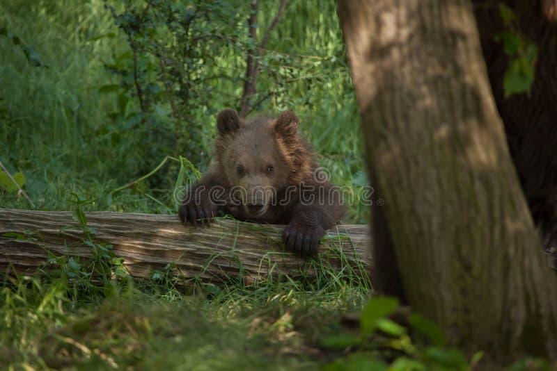 Bruin Kamchatka draagt Ursus-arctosberingianus royalty-vrije stock foto's
