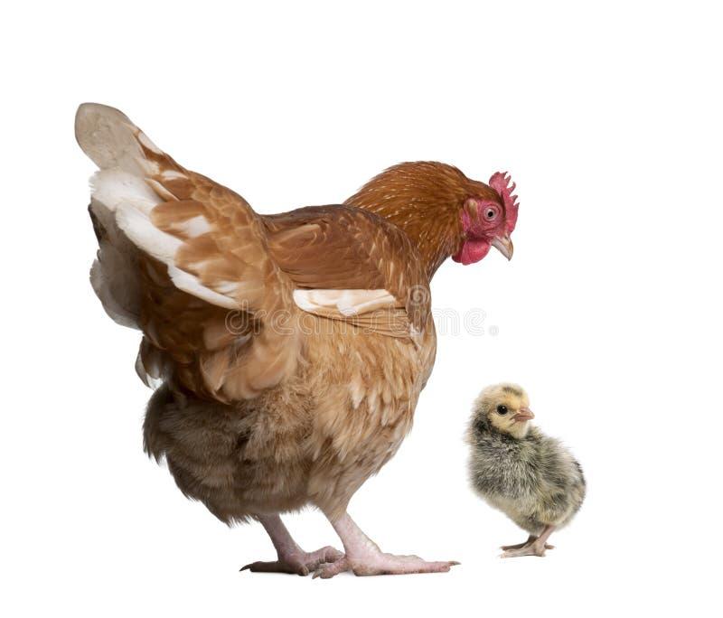 Bruin kip en kuiken tegen witte achtergrond royalty-vrije stock foto