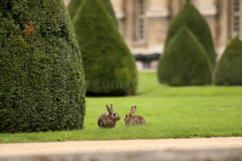 bruin konijn 2 op groen gras royalty-vrije stock afbeeldingen