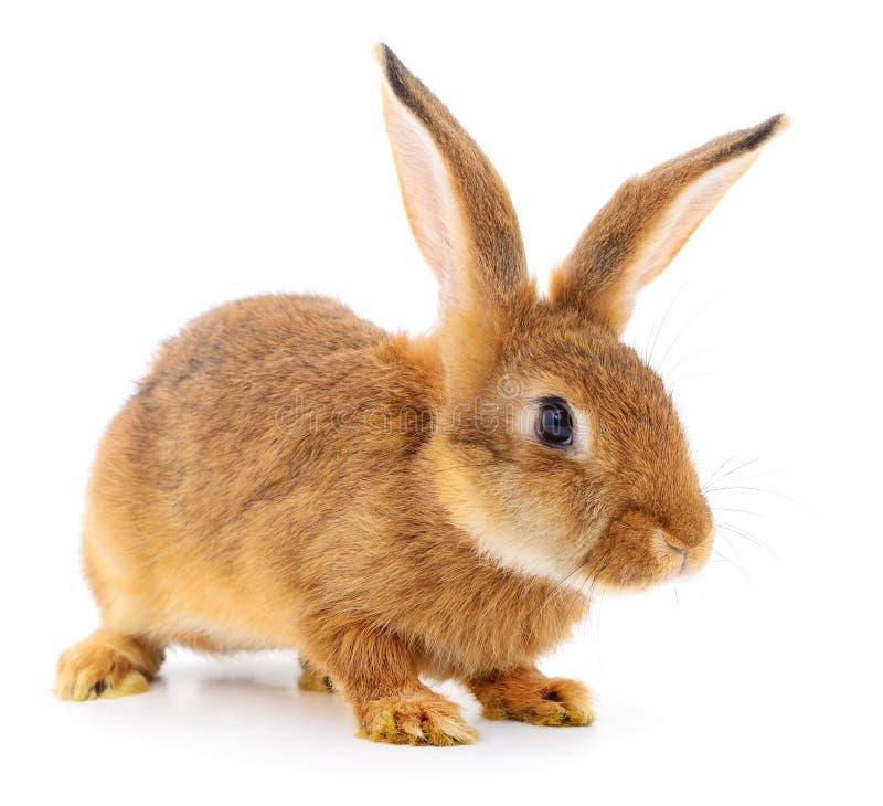 Bruin konijn op wit stock fotografie