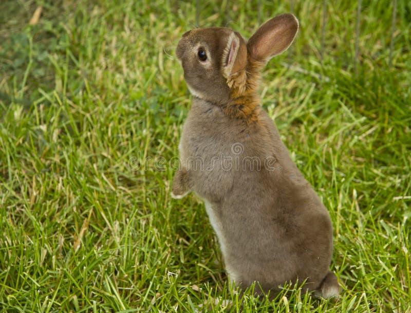 Bruin konijntje stock afbeeldingen