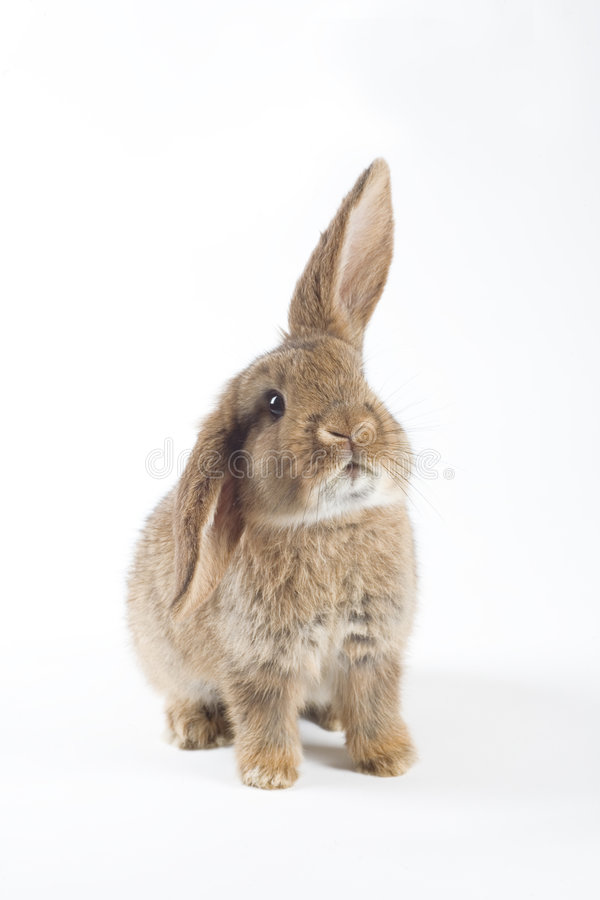 Bruin konijntje, dat op witte achtergrond wordt geïsoleerdi royalty-vrije stock afbeelding