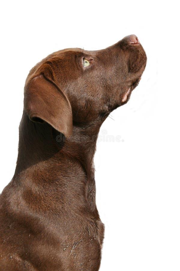 Bruin Labrador royalty-vrije stock foto