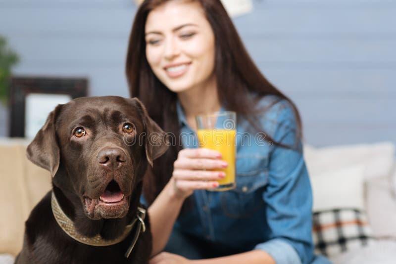 Bruin Labrador en zijn maitresse die aanbiddelijk kijken stock afbeelding
