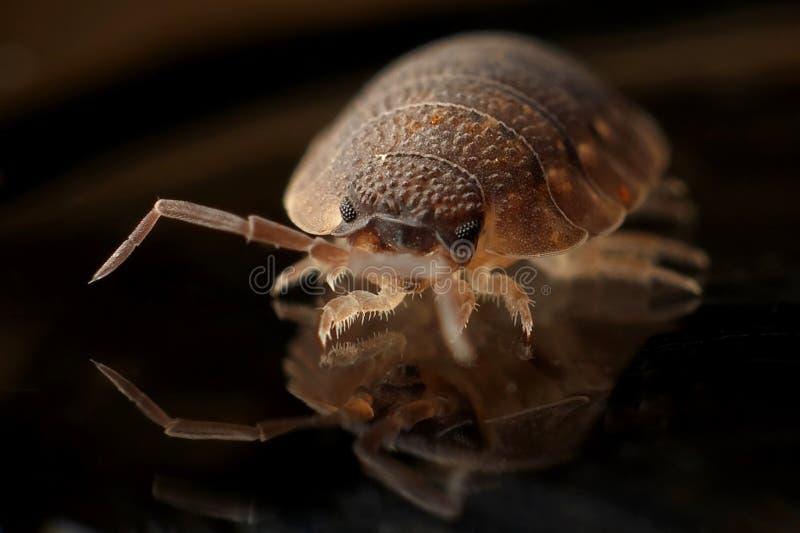 Bruin Legged Insect 8 op Zwarte Oppervlakte stock fotografie
