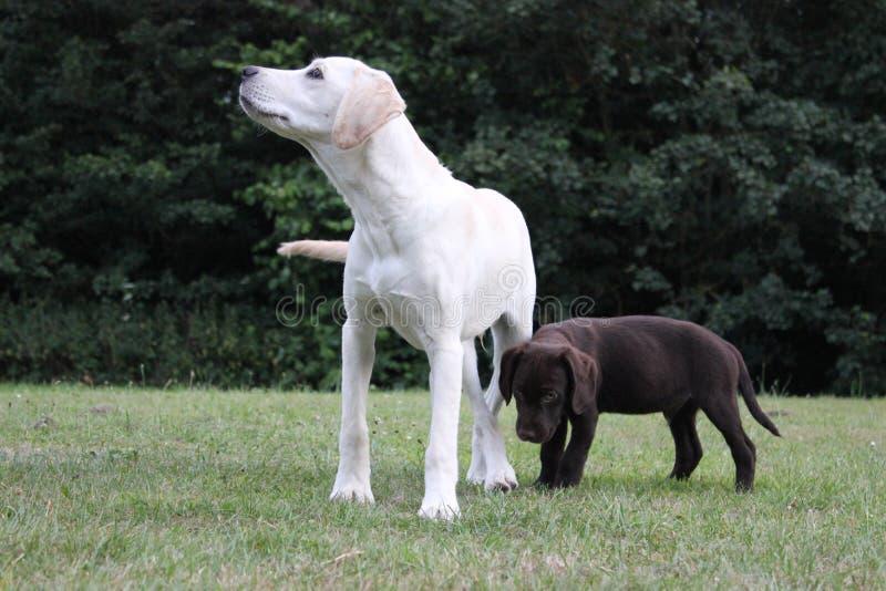 Bruin leuk puppy en het puppy van Labrador stock afbeelding