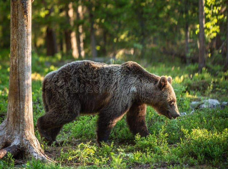 Bruin lopen draagt in het de zomerbos royalty-vrije stock foto's
