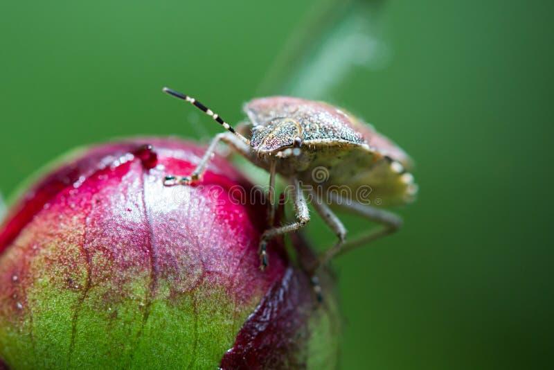 Bruin marmorated stinken insect stock fotografie