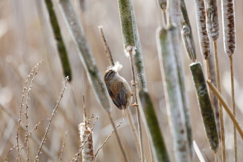 Bruin Marsh Wren stock afbeelding