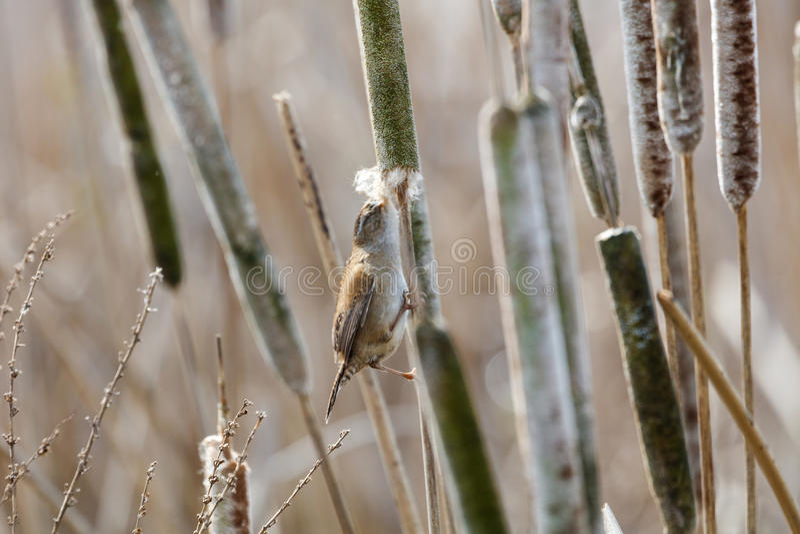 Bruin Marsh Wren royalty-vrije stock afbeelding
