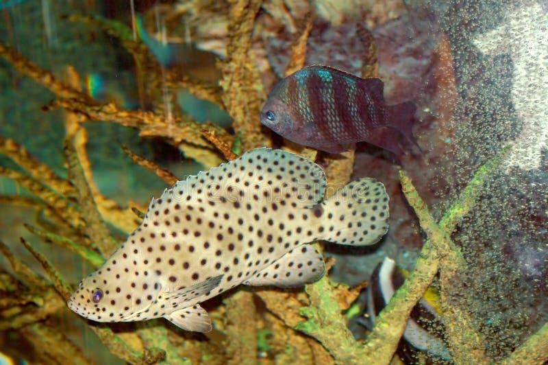 Download Bruin Met Zwarte Vlekken Fish2 Stock Afbeelding - Afbeelding bestaande uit life, meren: 276825