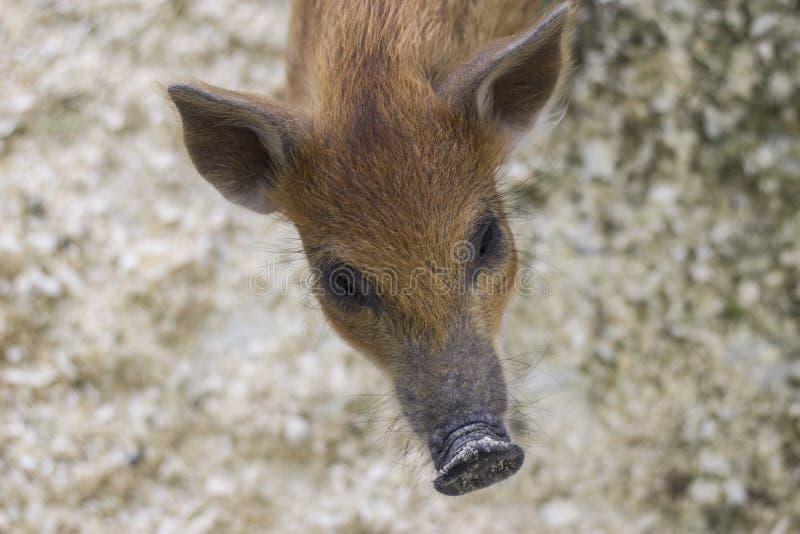 Bruin mini-varken stock fotografie