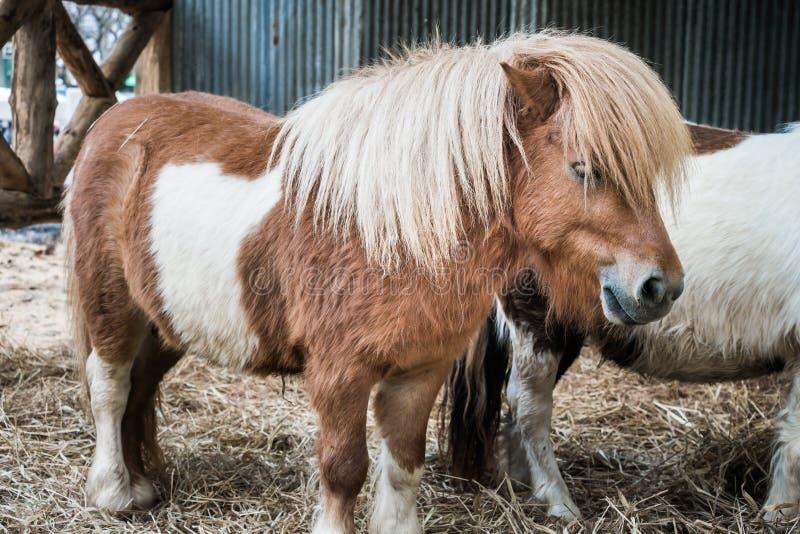 Bruin miniatuurpaard met lang haar stock foto